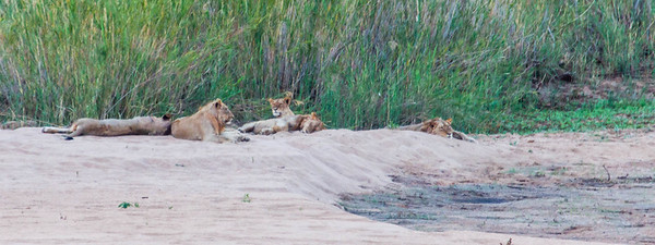 This is one of the very few lion shots taken during the entire trip. We did not have much luck . This shot was taken at about 400 meters away with my 300 mm lens (480mm to be exact fitted on my back up camera with a ASP-C sensor).