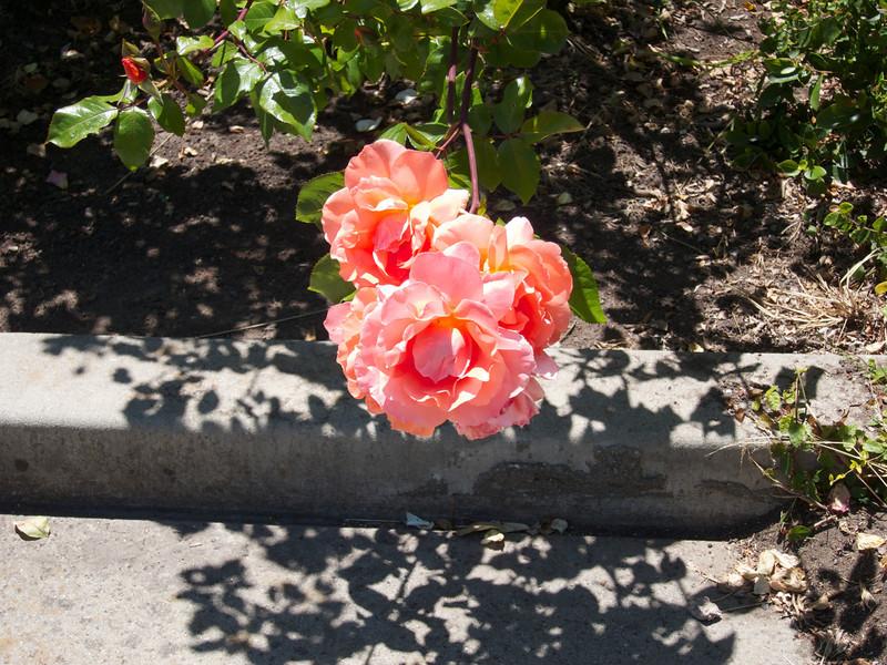 Oakland Roses in Bloom<br /> Oakland Rose Garden 2012-06-08 at 14-09-07