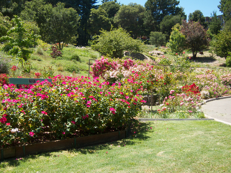 Oakland Roses in Bloom<br /> Oakland Rose Garden 2012-06-08 at 13-59-06