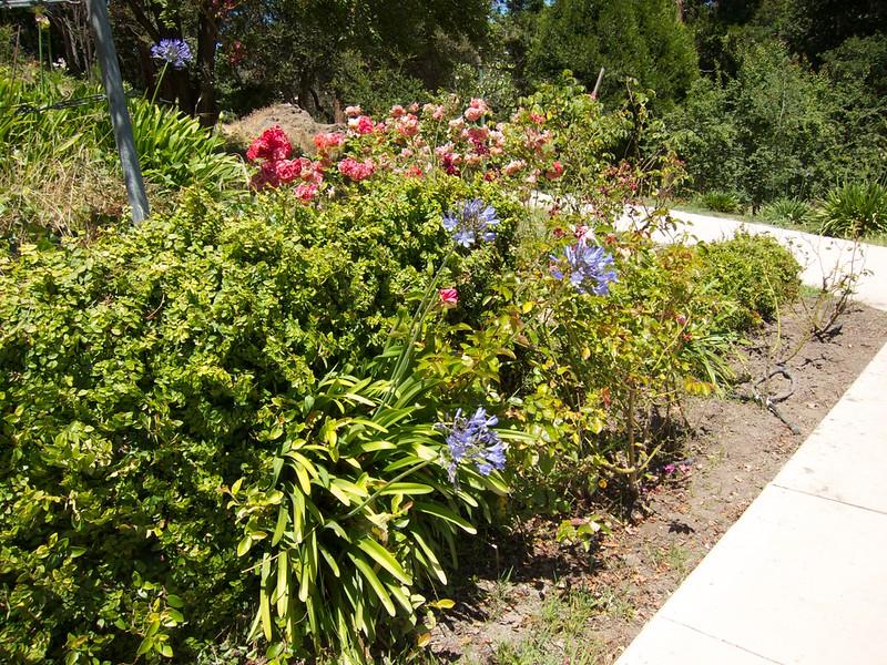 Oakland Roses in Bloom<br /> Oakland Rose Garden 2012-06-08 at 14-10-06