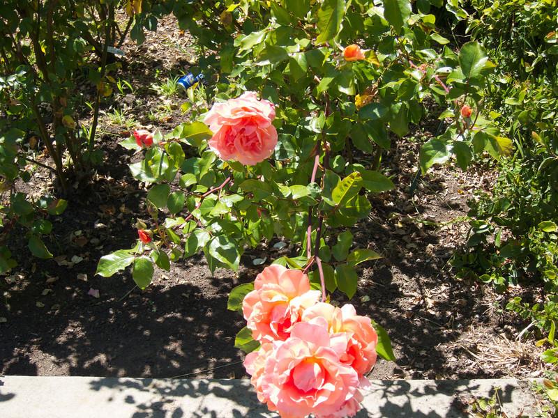 Oakland Roses in Bloom<br /> Oakland Rose Garden 2012-06-08 at 14-09-27