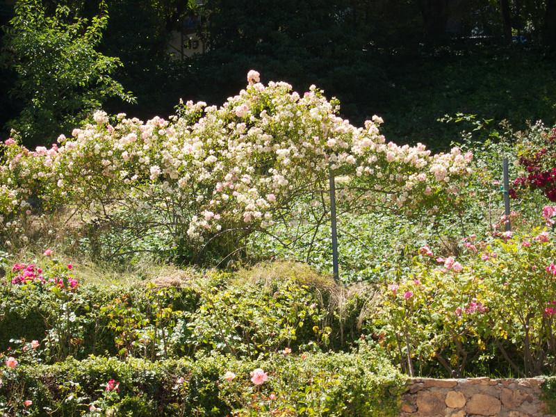 Oakland Roses in Bloom<br /> Oakland Rose Garden 2012-06-08 at 14-07-29