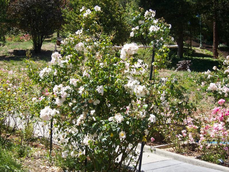 Oakland Roses in Bloom<br /> Oakland Rose Garden 2012-06-08 at 14-00-26