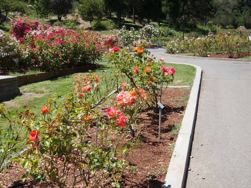 Oakland Roses in Bloom<br /> Oakland Rose Garden 2012-06-08 at 13-58-48