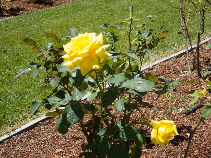 Oakland Roses in Bloom<br /> Oakland Rose Garden 2012-06-08 at 13-57-04