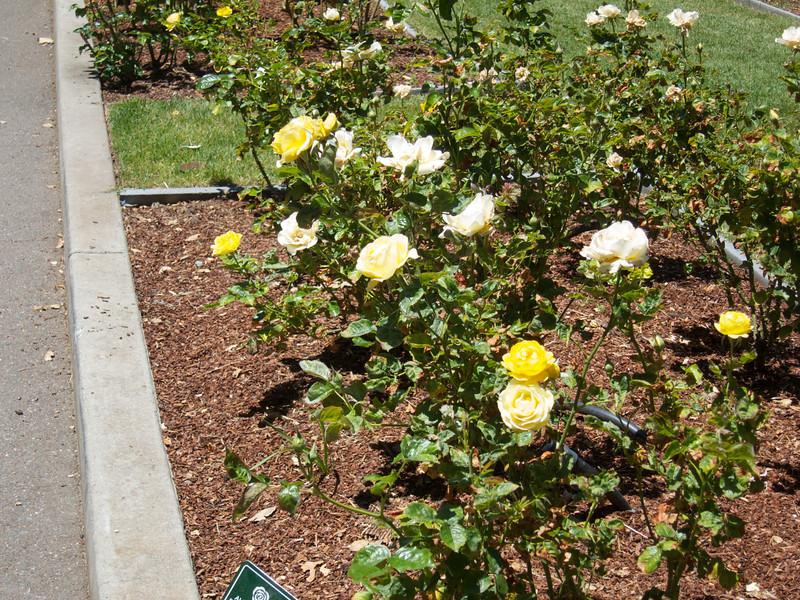 Oakland Roses in Bloom<br /> Oakland Rose Garden 2012-06-08 at 13-57-34