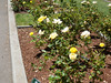 Oakland Roses in Bloom<br /> Oakland Rose Garden 2012-06-08 at 13-57-34