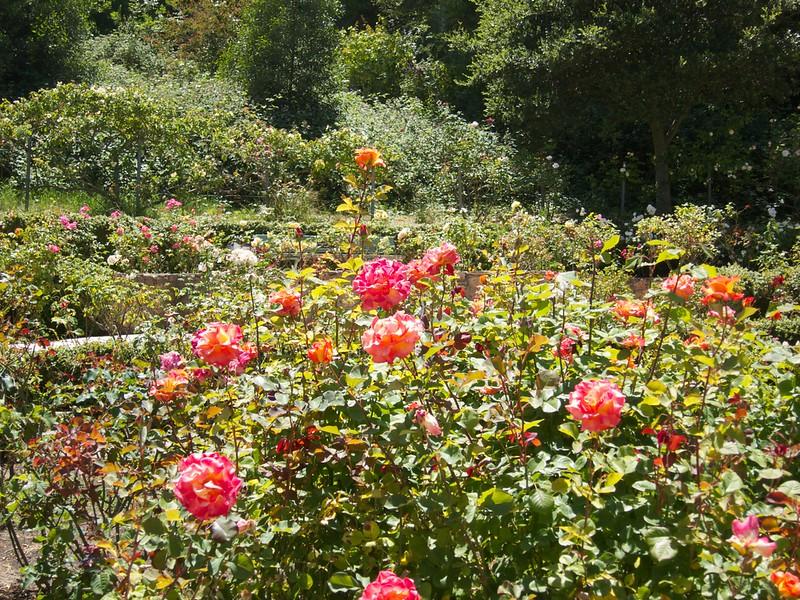 Oakland Roses in Bloom<br /> Oakland Rose Garden 2012-06-08 at 14-06-42