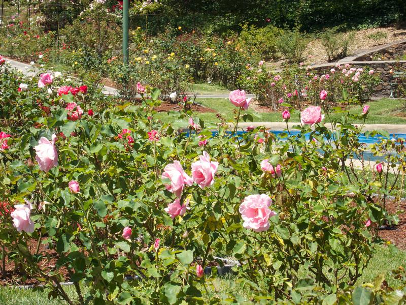 Oakland Roses in Bloom<br /> Oakland Rose Garden 2012-06-08 at 14-00-10