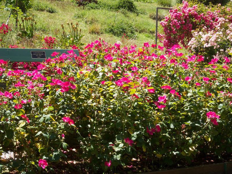 Oakland Roses in Bloom<br /> Oakland Rose Garden 2012-06-08 at 13-59-15