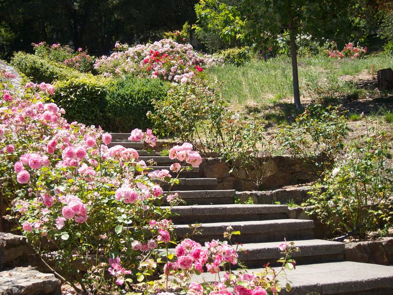 Oakland Roses in Bloom<br /> Oakland Rose Garden 2012-06-08 at 14-04-43
