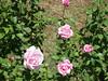 Oakland Rose Garden 2013-05-10 at 14-35-50
