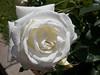 Oakland Rose Garden 2013-05-10 at 14-35-02