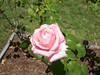 Oakland Rose Garden 2013-05-10 at 14-32-43