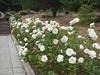 Oakland Rose Garden 2013-08-07<br /> Oakland Rose Garden 2013-08-07 at 14-14-56