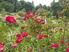 Oakland Rose Garden 2013-08-07<br /> Oakland Rose Garden 2013-08-07 at 14-10-37