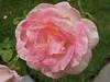 Oakland Rose Garden 2013-08-07<br /> Oakland Rose Garden 2013-08-07 at 14-09-19