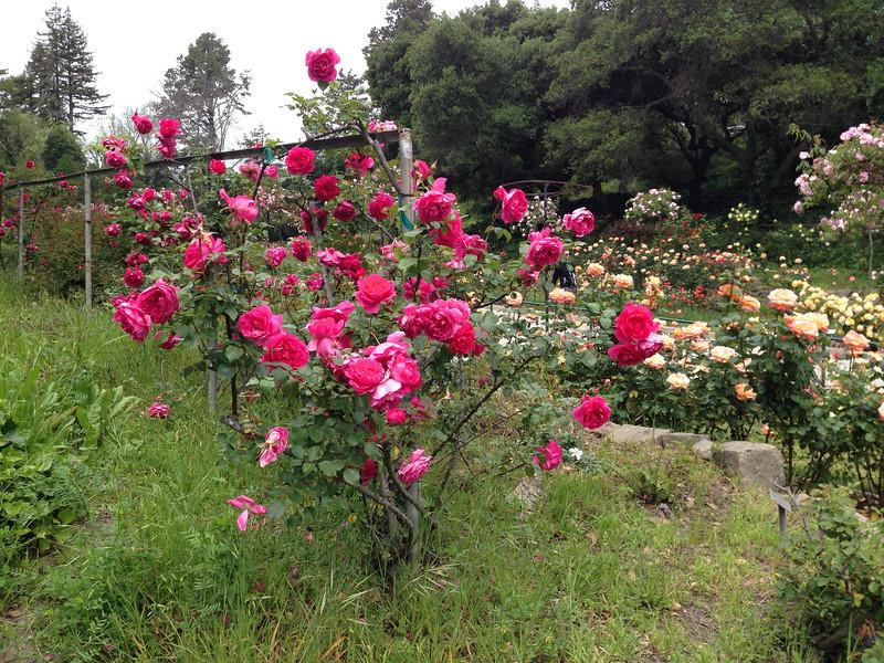 Oakland Rose Garden <br /> April 2014<br /> Oakland Rose Garden 2014-04-21 at 14-16-12