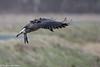 Canada Goose Landing Up-wind