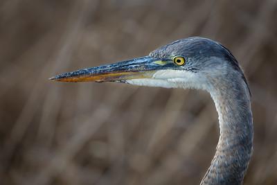 Blue Heron - Detail
