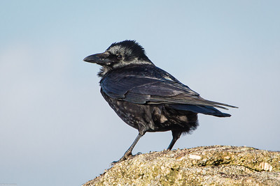 Crow on Sheepstor