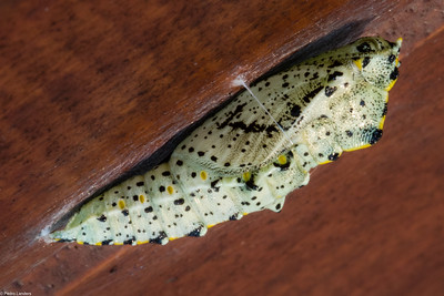 Large White Chrysalis