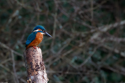 Hooe Lake Kingfisher