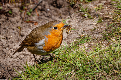 Robin with Hoverfly