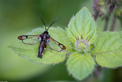 Red-Tipped Clearwing  Moth