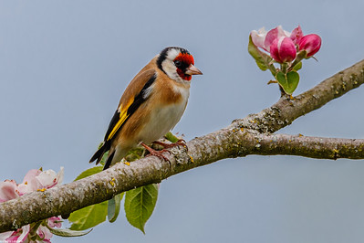 Goldfinch and Apple Blossom