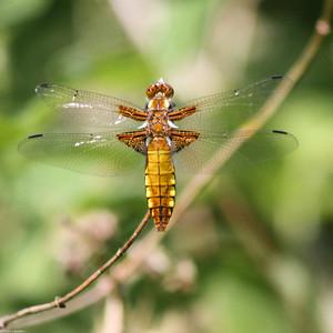 Chaser Dragonfly - Whitecross Green