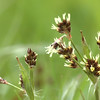 <i>Luzula campestris</i> | Gewone veldbies - Field woodrush, Good friday grass