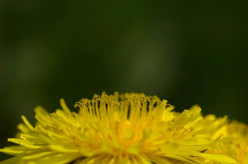 <em>Taraxacum officinale</em> | Paardenbloem - Dandelion