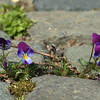 Viooltjes op de oprit - Pansies on the driveway