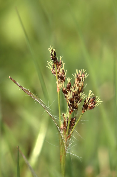 Luzula campestris | Gewone veldbies - Field woodrush, Good friday grass