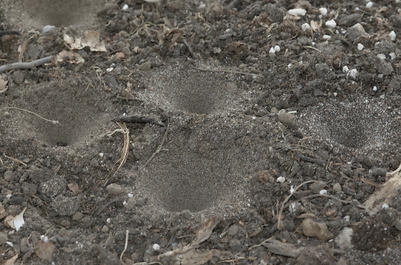 Myrmeleon formicarius | Mierenleeuw - Antlion