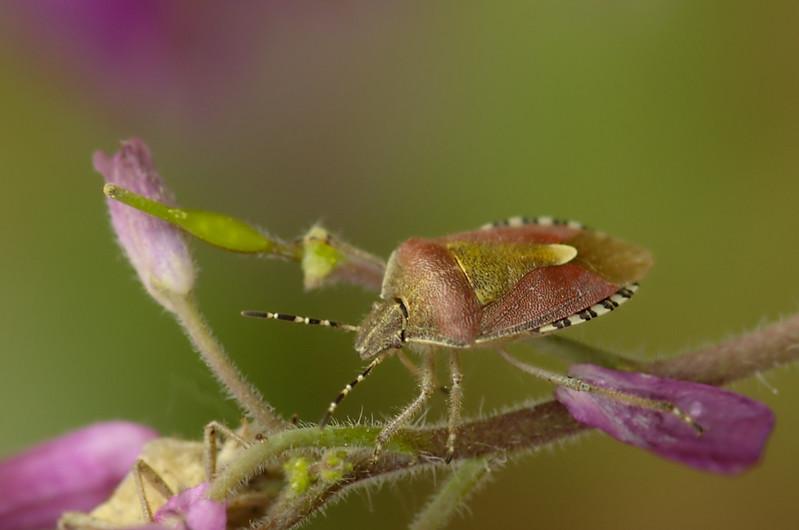 <i>Dolycoris baccarum</i>   Bessenwants - Sloe bug