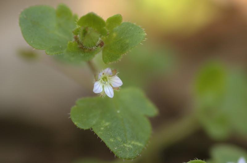 <em>Veronica hederifolia subsp. lucorum</em> | Klimopereprijs - Ivy leaf speedwell