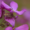 <i>Dolycoris baccarum</i> | Bessenwants - Sloe bug