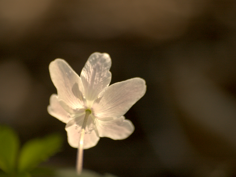 <i>Anemone nemorosa</i> | Bosanemoon - Wood anemone, Windflower