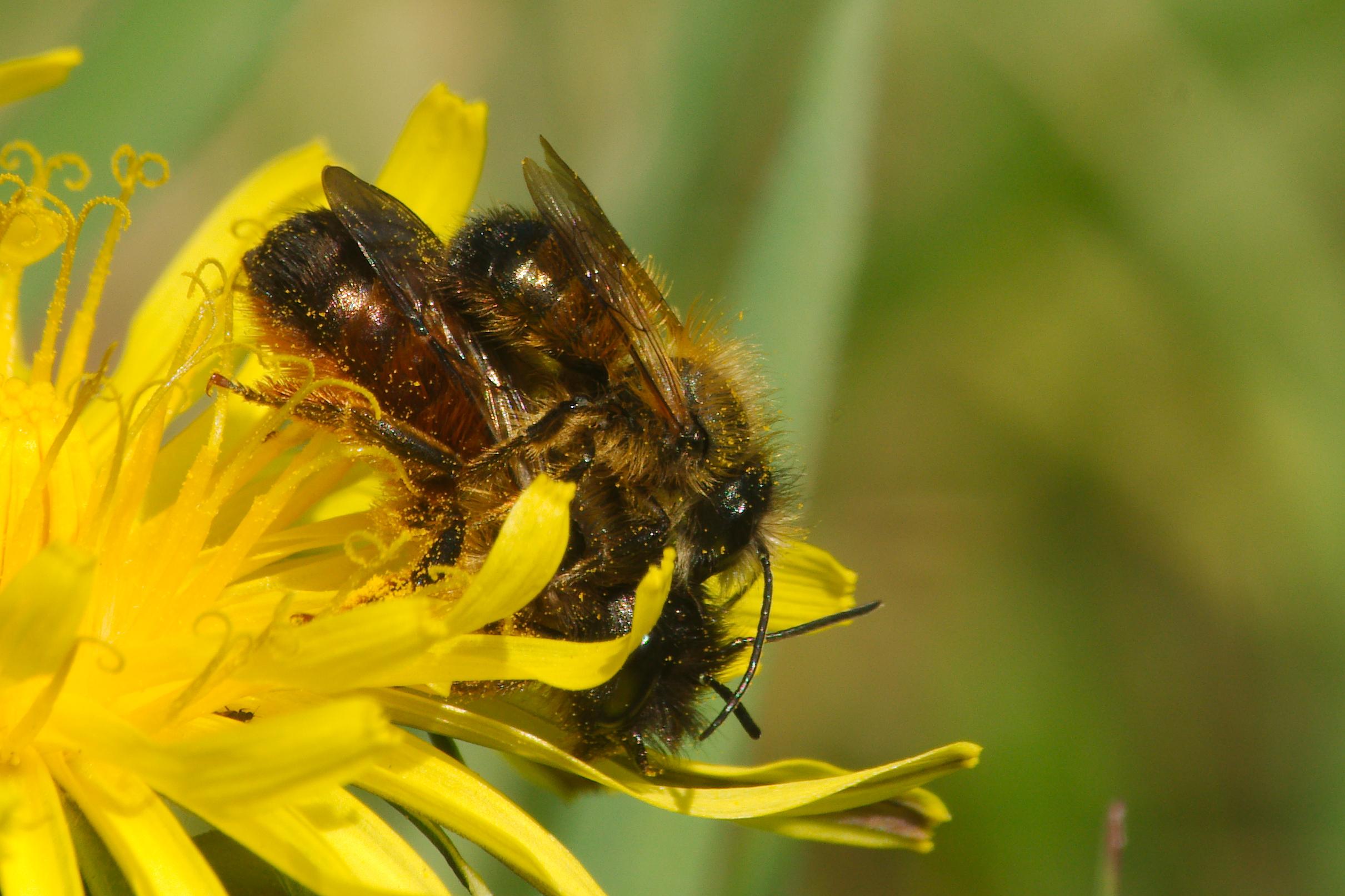 Osmia bicornis | Osmia rufa | Red mason bee