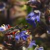 Rhynocoris annulatus   Geringde Roofwants
