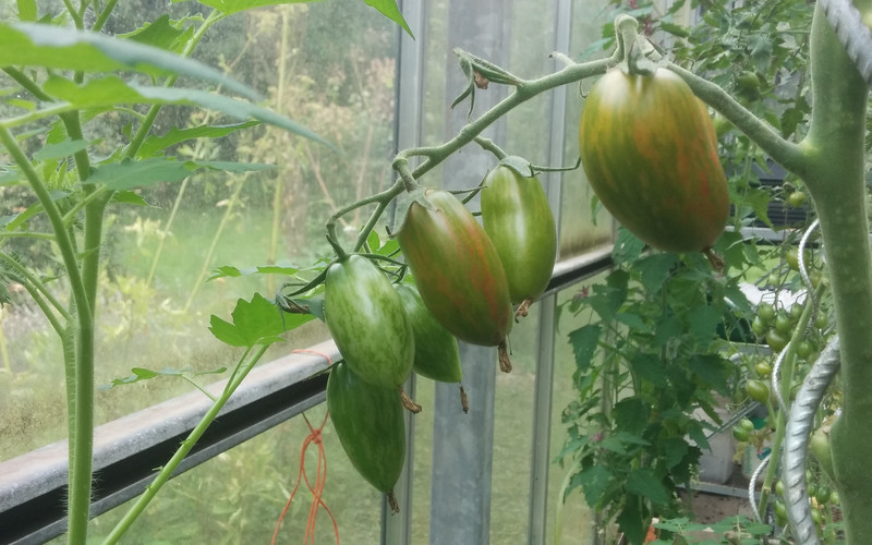 Tomato 'Green Tiger' - maturing fruits