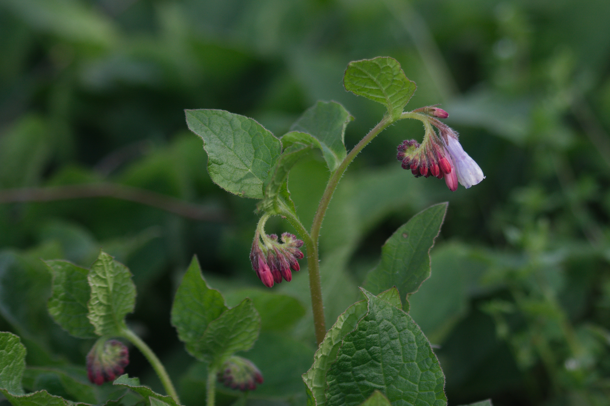 Symphytum grandiflorum - Kruipende smeerwortel
