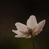 Anemona nemorosa