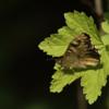 Pararge aegeria   Bont zandoogje - Speckled wood
