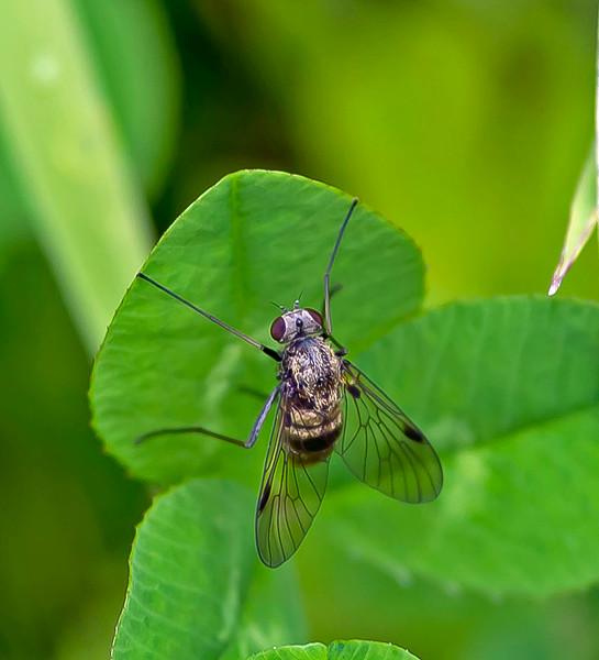 """Chrysopilus cristatus, (Female) """"Snipe Fly"""""""