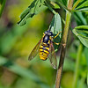 Hoverfly: Chrysotoxum cautum (Female)