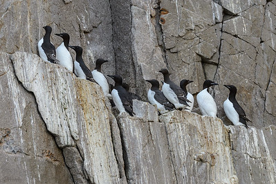 Brunnich's and common guillemots