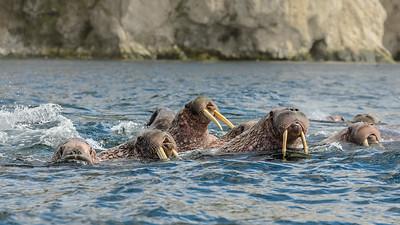 Walrus off Nuneangan Island